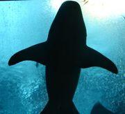 ブラックサメサメ団