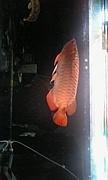 龍魚 〔アロワナ〕の魅力