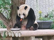 パンダのタンタンを愛おしむ会