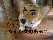 眉毛探偵団 コーギー大好き!