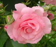 薔薇と庭仕事