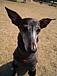 Italian Greyhound イタグレ