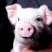 豚部(ブタブゥ)