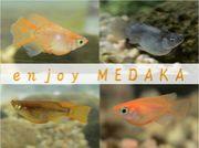 enjoy MEDAKA