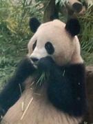 アドベンチャーワールドパンダ