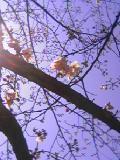 桜のかほり