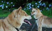 北海道犬博物館(アイヌ犬)
