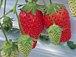 苺日☆苺が食べたい♪♪
