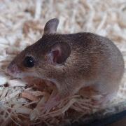 ピグミーマウス