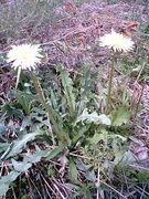 白花たんぽぽ(白花タンポポ)