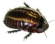 ゴキブリを愛でる