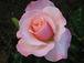 薔薇オードリー・ヘップバーン