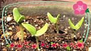 食べ蒔き・再生栽培