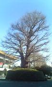 巨木を盆栽に見立てる会(仮)