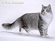 猫コミュ ☆サイベリアン☆