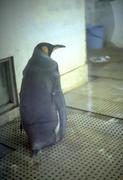 実はペンギンです。