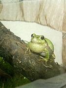 おつり入れに雨蛙を入れる