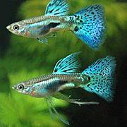 熱帯魚、水草ビギナーズ
