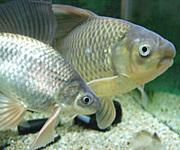 テツギョ 鉄魚