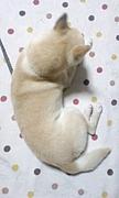 犬の僧帽弁閉鎖不全症