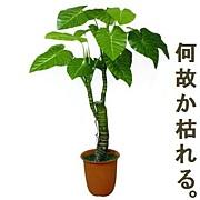 よく植物を枯らせる。