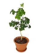 モンキーポッド この木なんの木