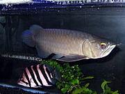 熱帯魚全般里親募集コミュ