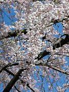 岐阜の桜&花火大会