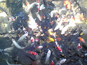 鯉の餌やり(´ω`)