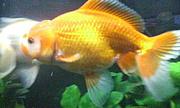 ジャンボ獅子頭+金魚全種類