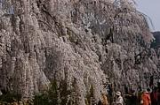 奈良の一本桜が好き