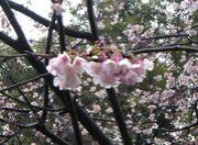 上野で花見を・・・
