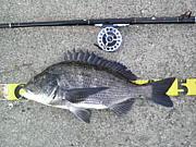 釣り*黒鯛*落とし込み*前打ち