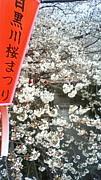 花見 桜の下では日本酒