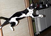 タキシード猫!
