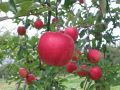 西南学院大学商・商・リンゴの木