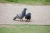 鳩胸が好き!?