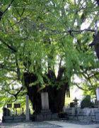 巨樹ときょうじゅと抱〆