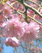 学習院 鳳桜会