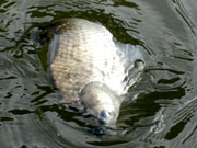 ☆へら鮒釣りに溺れ鯛☆