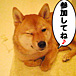 札幌柴犬の会