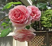 薔薇とレースが大好き