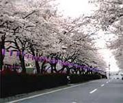 文京区播磨坂