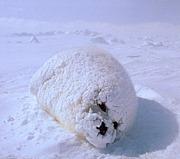 雪見だいふくを雪の中に埋める