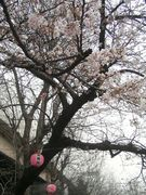 お花見☆(期間限定!)