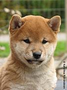 静岡県の柴犬、豆柴好き集まれ!