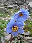 ヒマラヤの青い芥子