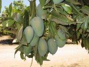♪ マンゴーの栽培について ♪