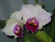 New Orchids 〜交配・育種の夢〜