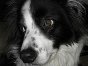 Love Border Collies